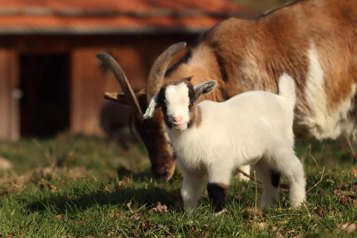 Savon au lait de chèvre